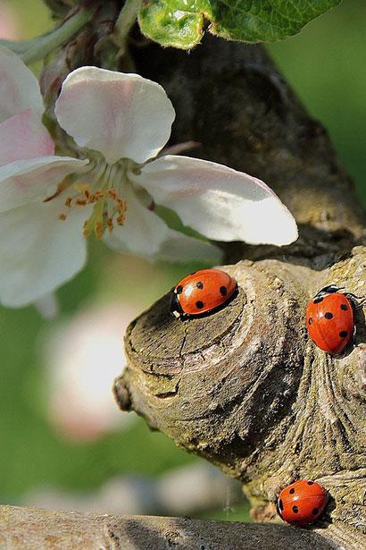 ladybug-722783_1280