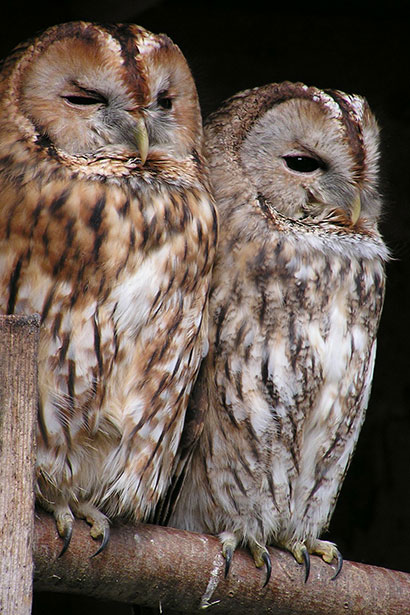 tawny-owl-175969_1280